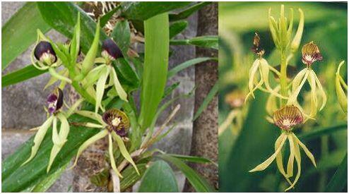 orquidea10