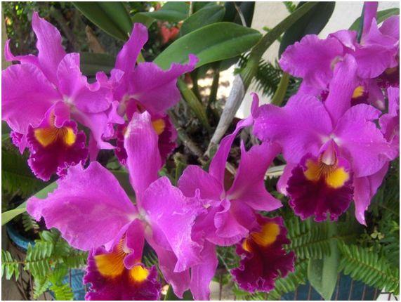 orquidea11