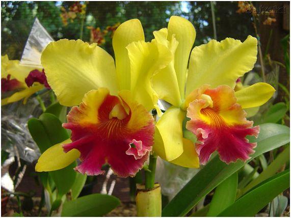 orquidea13