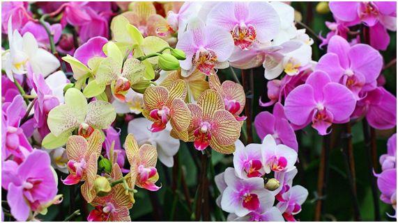 orquidea16