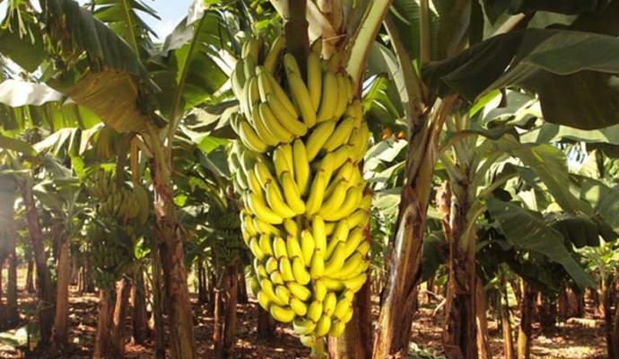 tn_dafda95e84_banana